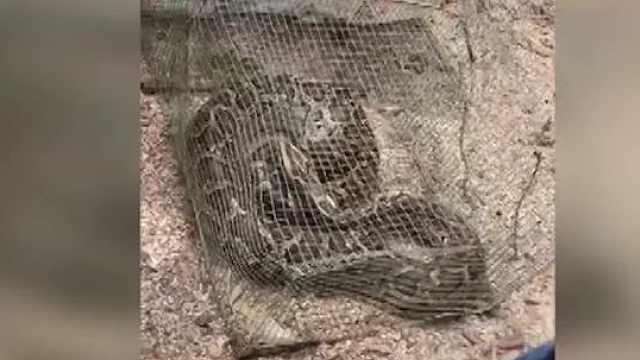 """实拍:蟒蛇进鸡舍""""扫荡"""""""