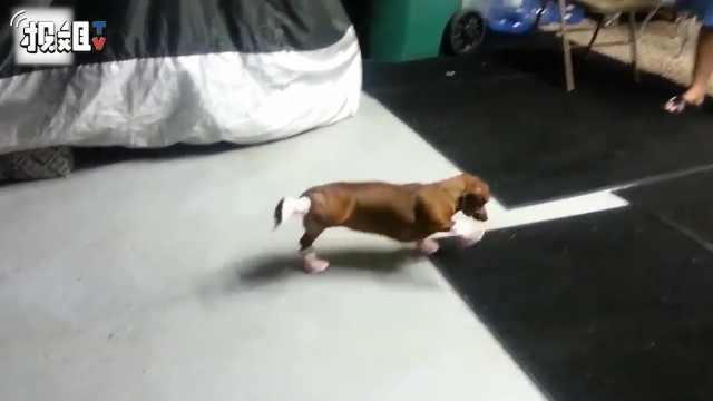 狗狗究竟需不需要穿鞋?