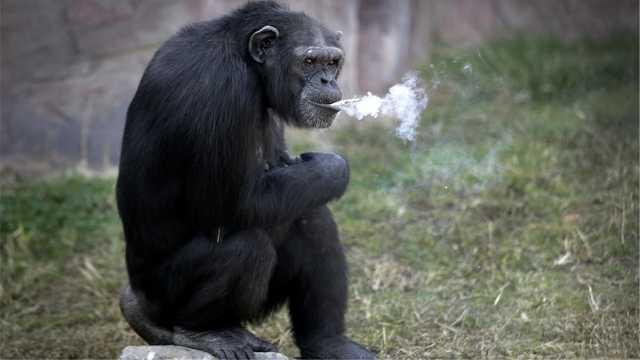 大猩猩学会了抽烟?