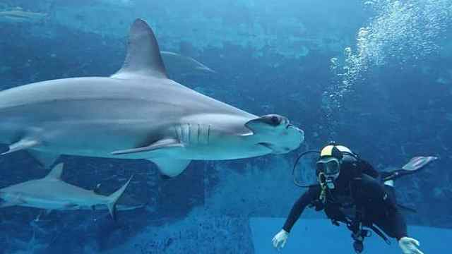鲨鱼被渔网缠住嘴,潜水员冒险施救