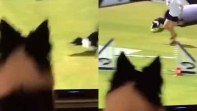 兴奋!狗狗看电视里的自己赢得比赛