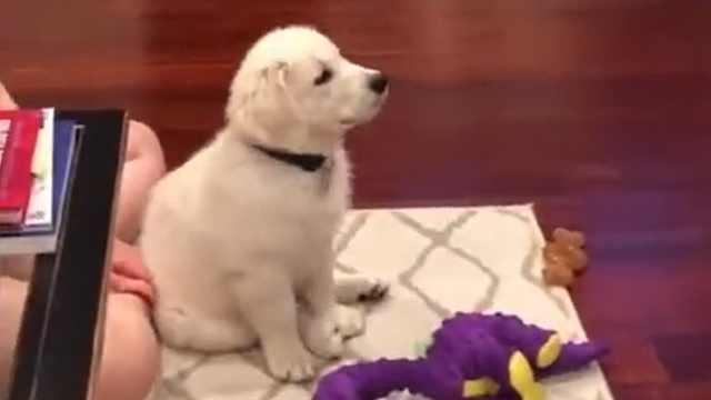 狗看到喜欢的节目,扔了玩具认真看