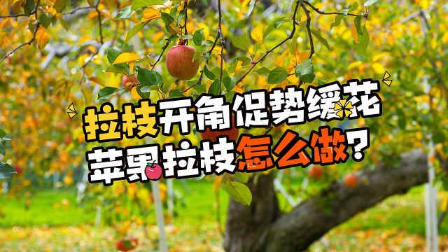 苹果树拉枝怎么做能够提高产量?