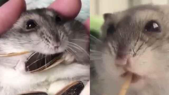 萌翻天!仓鼠吃东西吃到停不下来