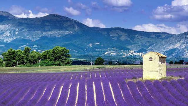 法国小镇因薰衣草名扬天下