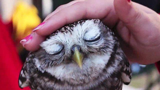 5个最萌动物!现在流行撸猫头鹰?