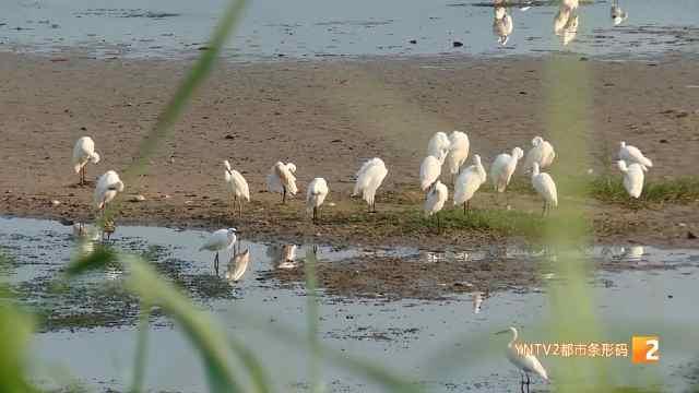 茈碧湖成白鹭种群栖息地