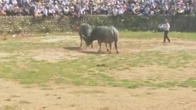 侗寨斗牛引千人围观,牛王归来挑衅