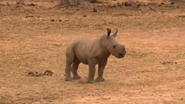 刚出生的小犀牛跑步像小猪