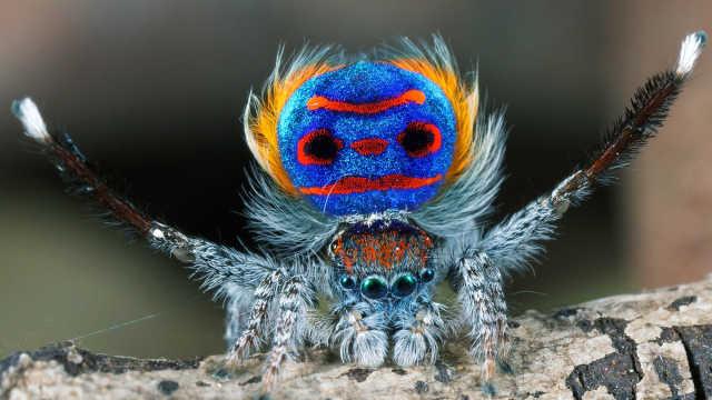 世上最魔性的孔雀蜘蛛!