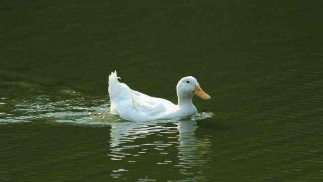 为什么鸭子能浮在水面上?
