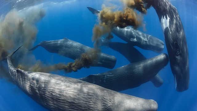 鲸鱼的粪便为什么被称为海中黄金?