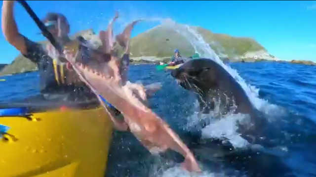 海豹将章鱼甩在划船者脸上