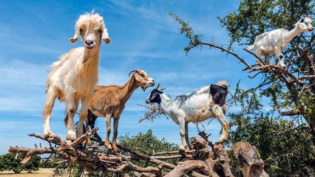 非洲山羊成精了,能自己爬树吃树叶
