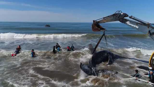 座头鲸搁浅28小时救援后回归大海