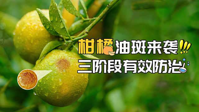 柑橘油斑病来袭,这样防治才有效