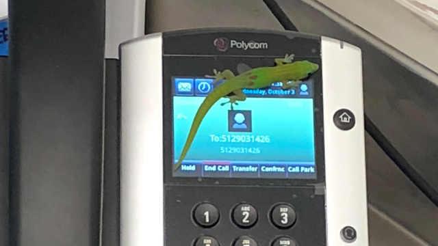 壁虎变身电话推销员拨出数十个电话