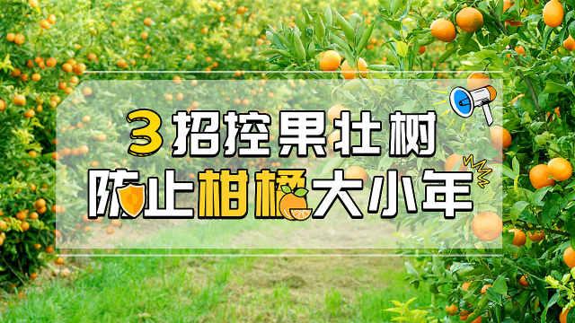 三招控果壮树,防止柑橘大小年
