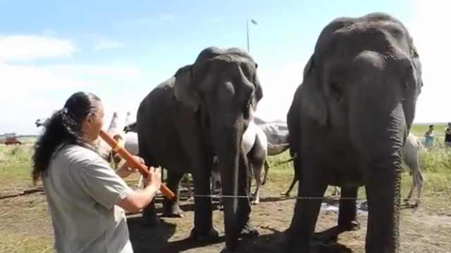 他向大象吹長笛,會有什么反應呢?