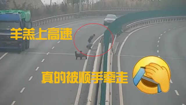 4只羊走上高速,被司机顺手牵走