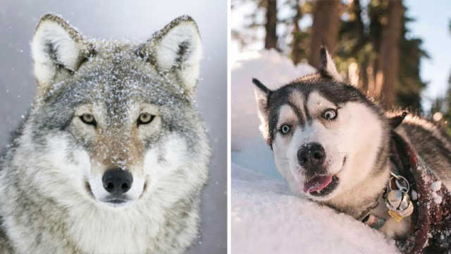 当哈士奇遇见狼,有什么样的表现?