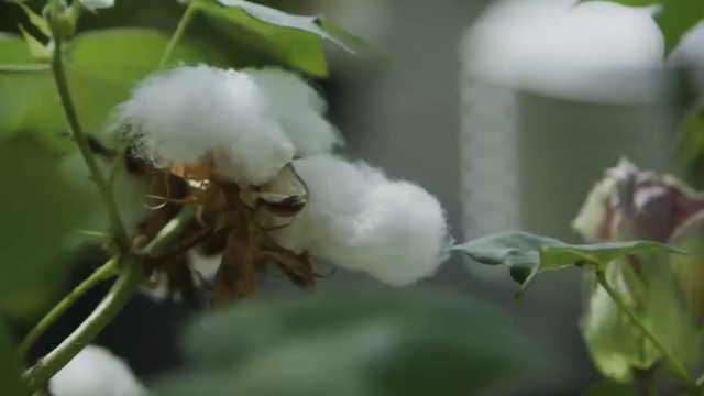 美国科学家种出可以吃的棉花