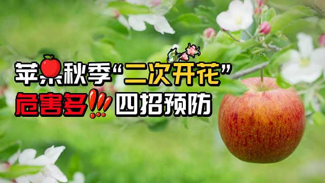 苹果秋季二次开花危害多,四招预防