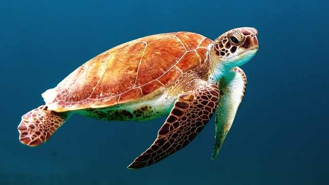 海洋生物科普小百科之海龟