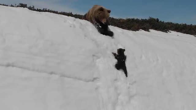 熊妈妈和小熊爬上雪坡过程惊心动魄