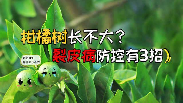 柑橘树裂皮病防控有3招!