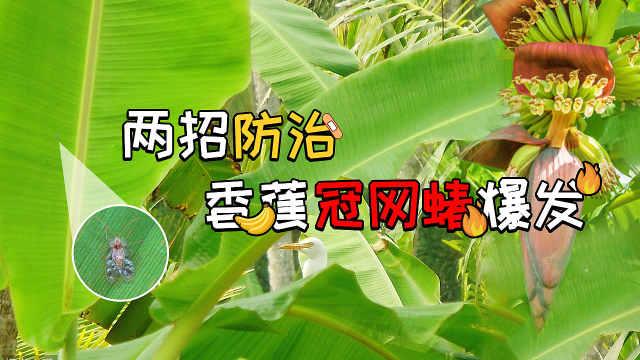 干旱季节香蕉冠网蝽易发,两招防治