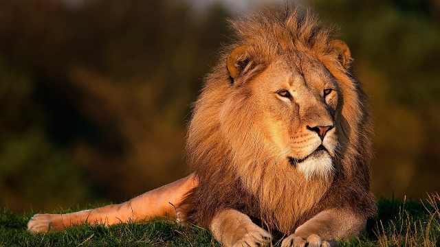草原动物科普小百科之狮子