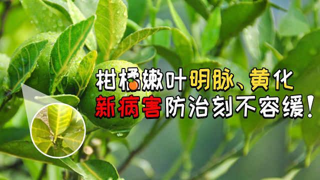 柑橘嫩叶明脉、黄化新病防治要及时
