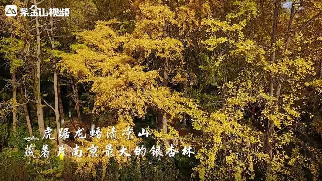 一山秋色!来这看南京最大的银杏林