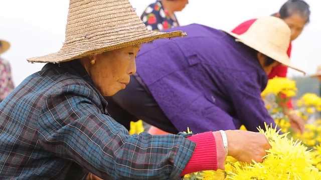 荒岛上种金丝皇菊,贫困村人均增5千