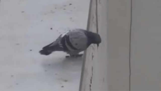 不是所有鸽子都会飞