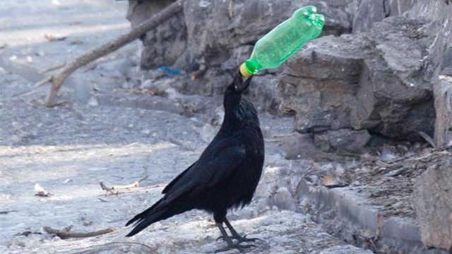 乌鸦聪明吗?答案超乎你的想象
