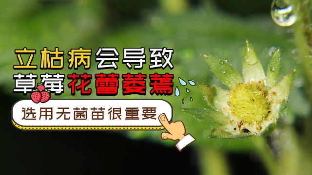 立枯病导致草莓花蕾萎蔫,如何预防