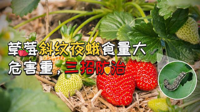 草莓斜纹夜蛾食量大,危害重
