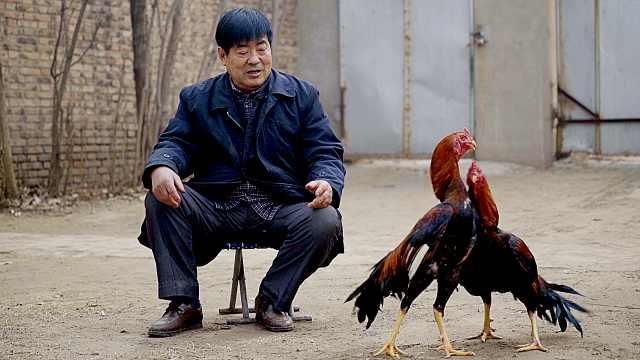末代鸡王,与斗鸡不得不说的故事