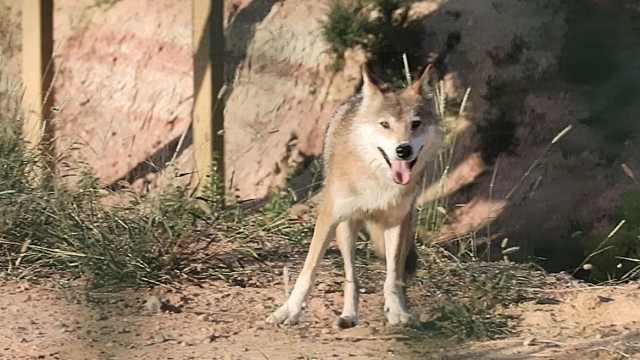 狼来了!探秘风情野狼之旅