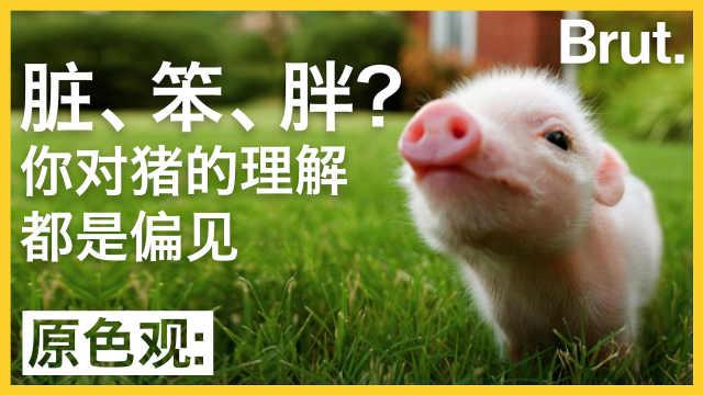 脏,笨,胖? 你对猪的理解也许是偏见