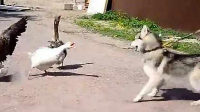 被大白鹅咬了可以叫哈士奇去报仇吗