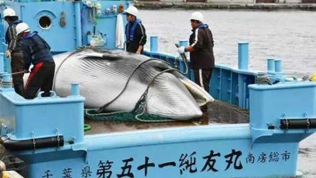 日本人宁愿拿出80亿美金也要捕鲸鱼