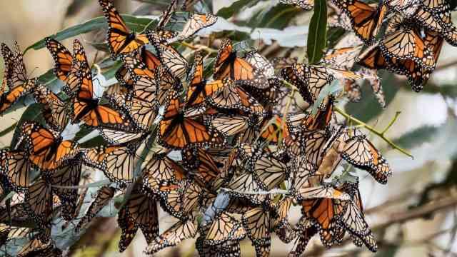 万只蝴蝶在此聚集,密集恐惧症退避