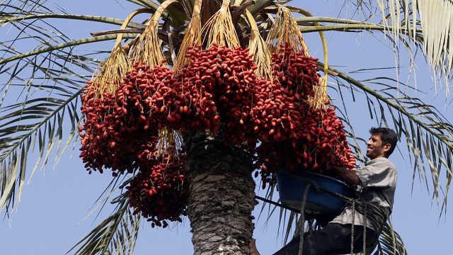 迪拜土豪最爱的水果:沙漠面包