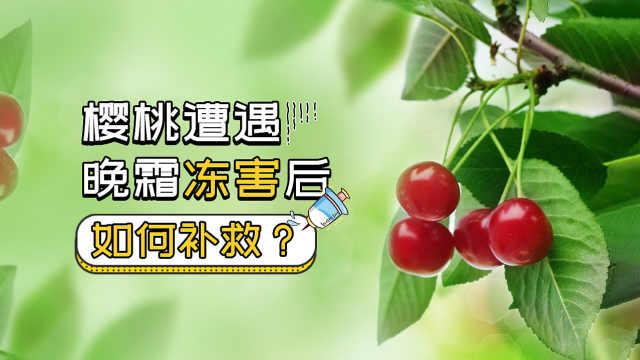 樱桃遭遇晚霜冻害,如何补救?
