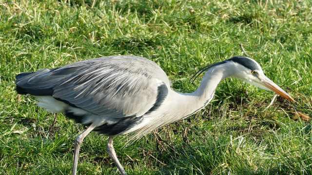 美丽的水鸟——苍鹭