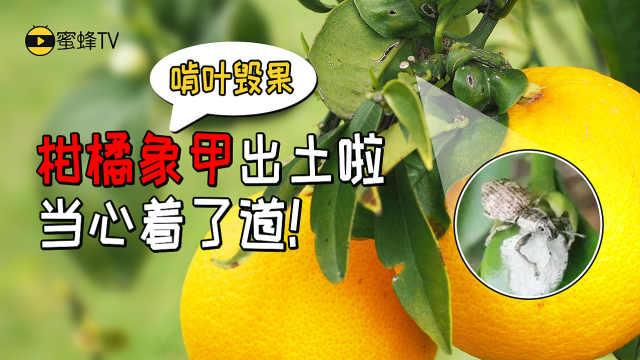 柑橘象甲危害大,防治解决方案!
