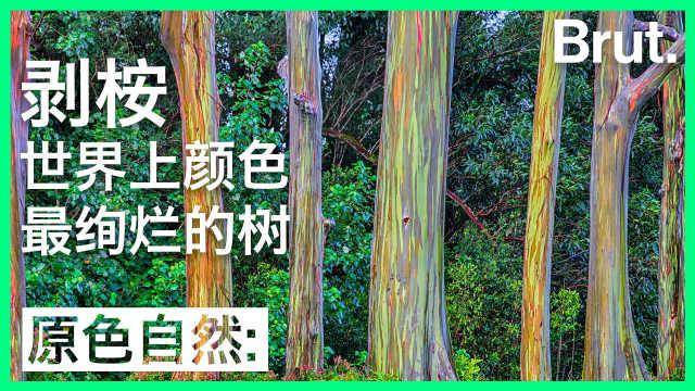 这是剥桉:世界上色彩最斑斓的树